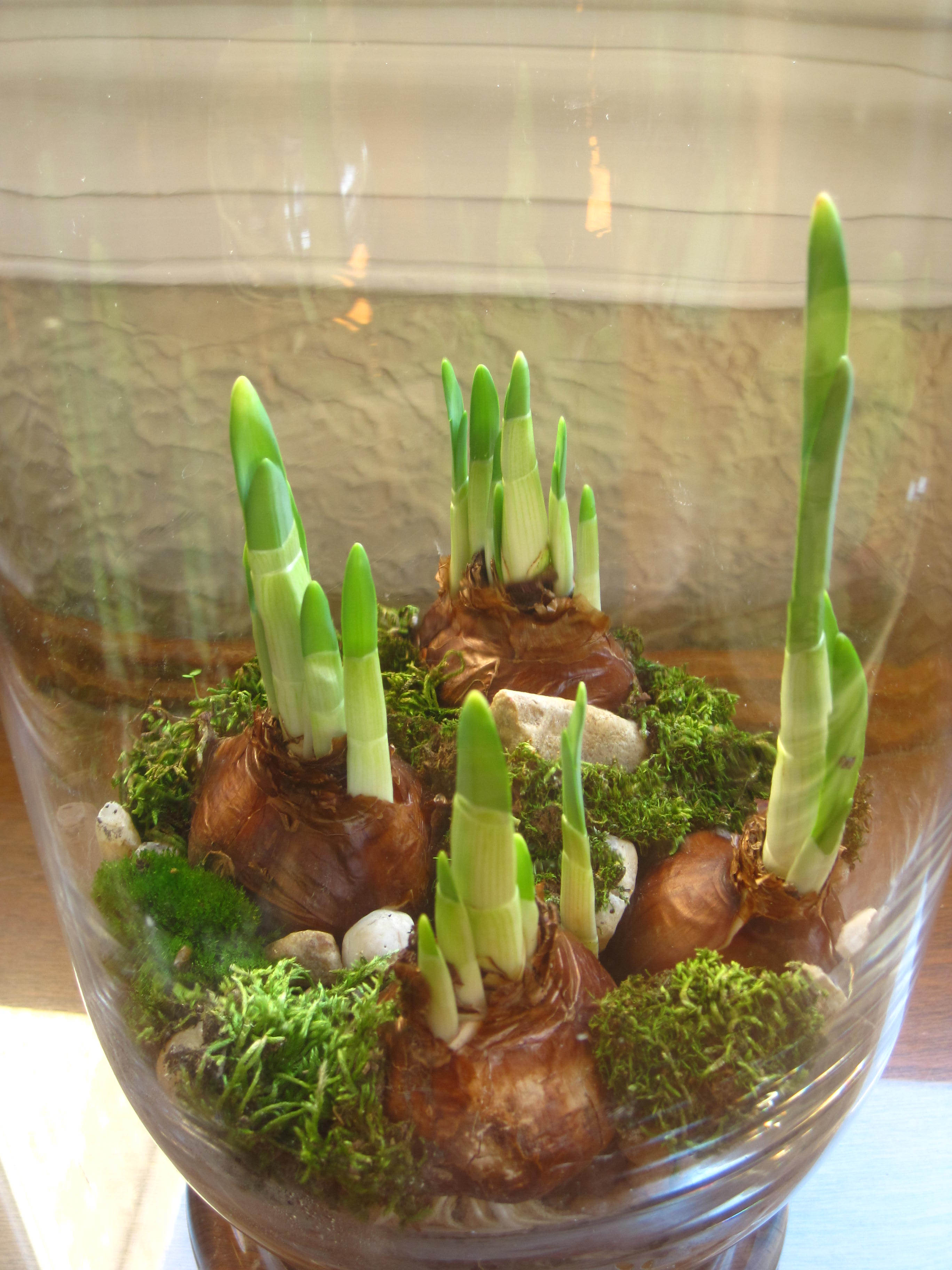 Holiday project paperwhites flourish paperwhites can be grown in almost any water tight container but because the bulbs are not buried deeply into the soil the flowers and foliage can be mightylinksfo